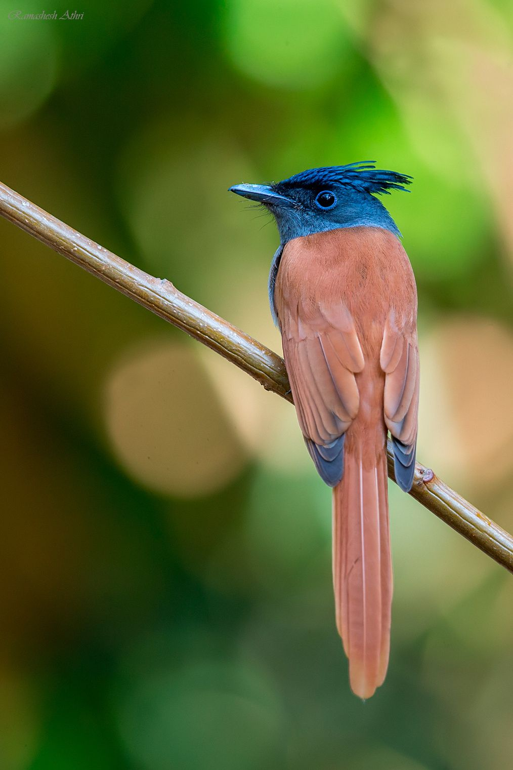 Asian Paradise Flycatcher [F] by Ramashesh Athri on 500px