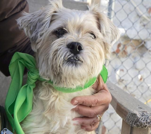 Super Urgent Owner Died Sys A1098496 Female Tan Shih Tzu Mix 10 Yrs Stray Owner Died Dog Adoption Animals Shelter Dogs