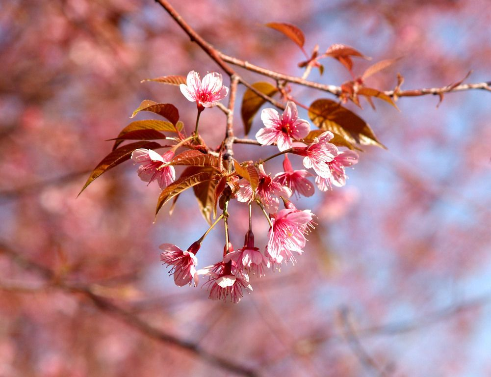 Be The First To Catch The Cherry Blossoms Sakura In Japan 2018 Cherry Blossom Symbolism Blossoms Art Landscape