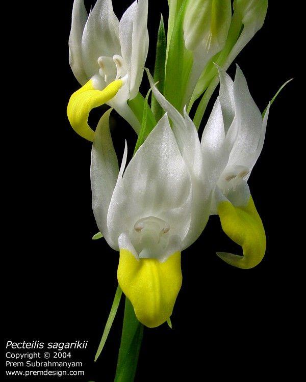 Pecteilis sagarikii: Duck Orchid