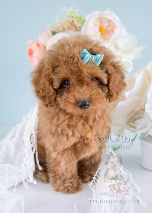 Toy Poodle Puppy By Teacup Puppies Poodle Puppy Poodle Dog