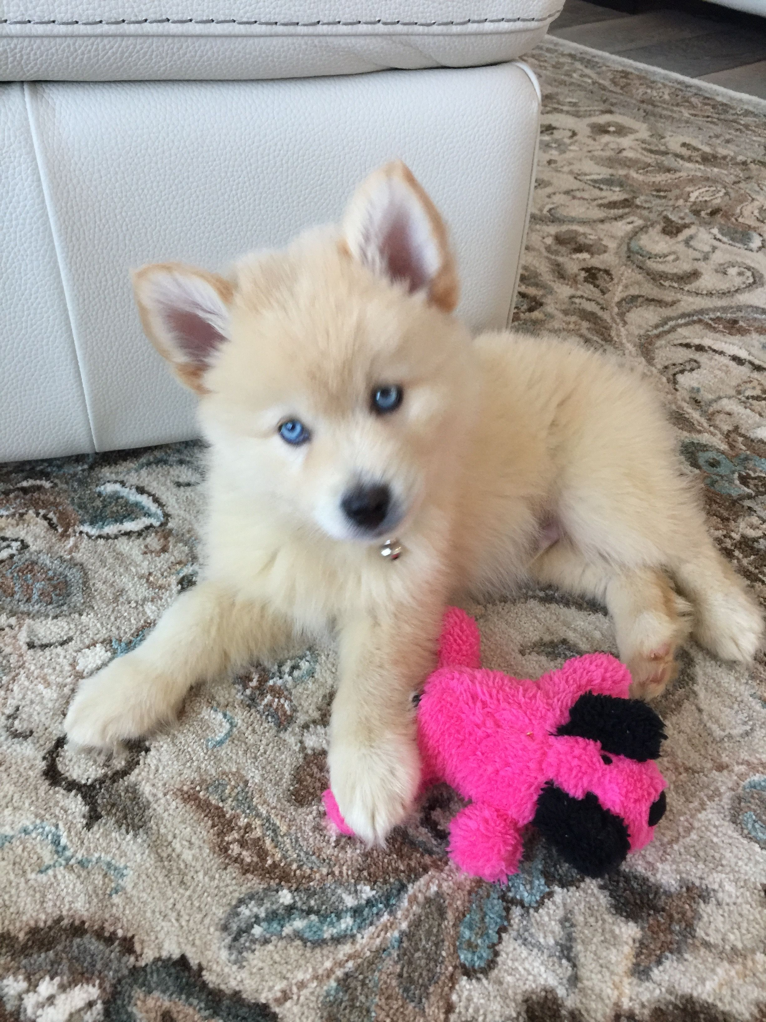 BEAUTIFUL POMSKY PUPPIES FOR SALE ( READY NOW )   Colorado USA