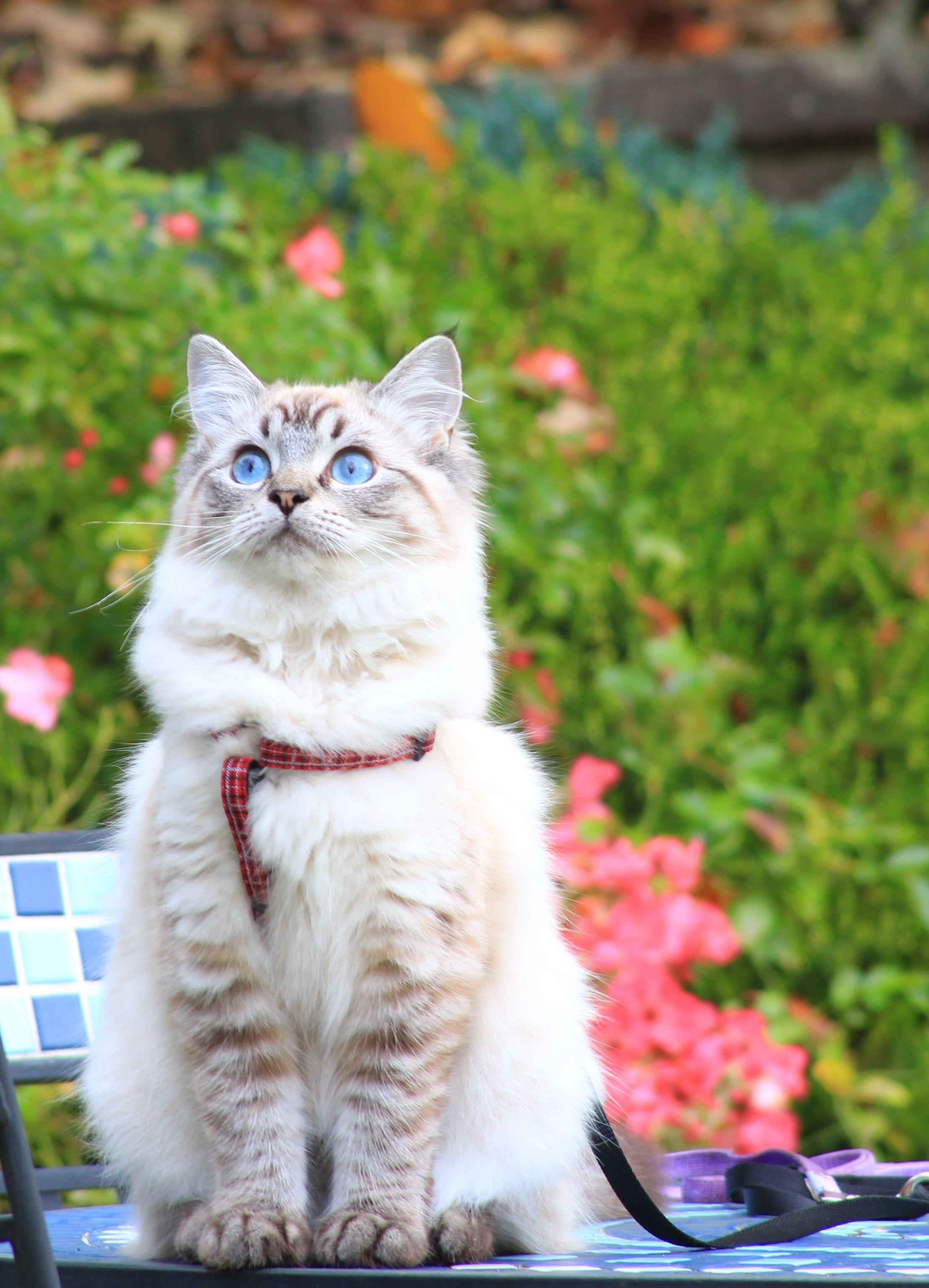 Bella Ragdoll of the Week Cute cats photos, Ragamuffin