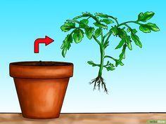 Tomaten hängend züchten #tomatenzüchten