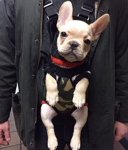 Frenchies French Bulldog Puppies French Bulldog Clothes Bulldog