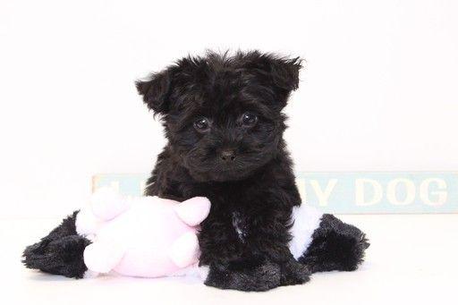 Yorkie Poo Puppy For Sale In Naples Fl Adn 36655 On Puppyfinder Com Gender Female Age 14 Weeks Old Yorkie Poo Puppies For Sale Yorkie Poo Puppies