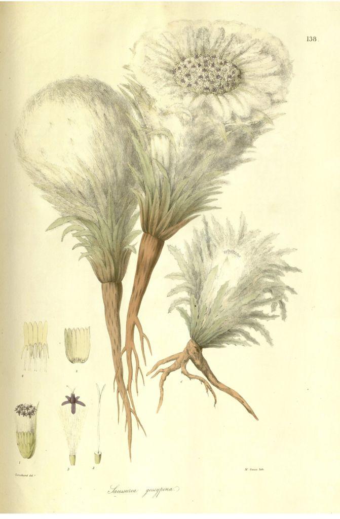 Kasturi kamal, snowball plant  Saussurea gossypiphora [as Saussurea