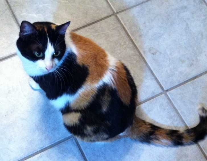 Calico Cats For Sale In Maryland