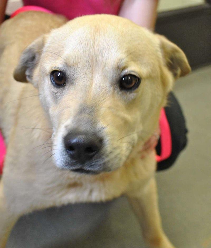 Adopt brady on dog adoption labrador retriever cute