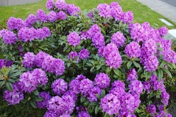 Rozanecznik Anah Kruschke Rhododendronpiekny Krzew O Zimozielonych Lisciach I Ozdobnych Kwiatach Evergreen Shrubs Rhododendron Plants