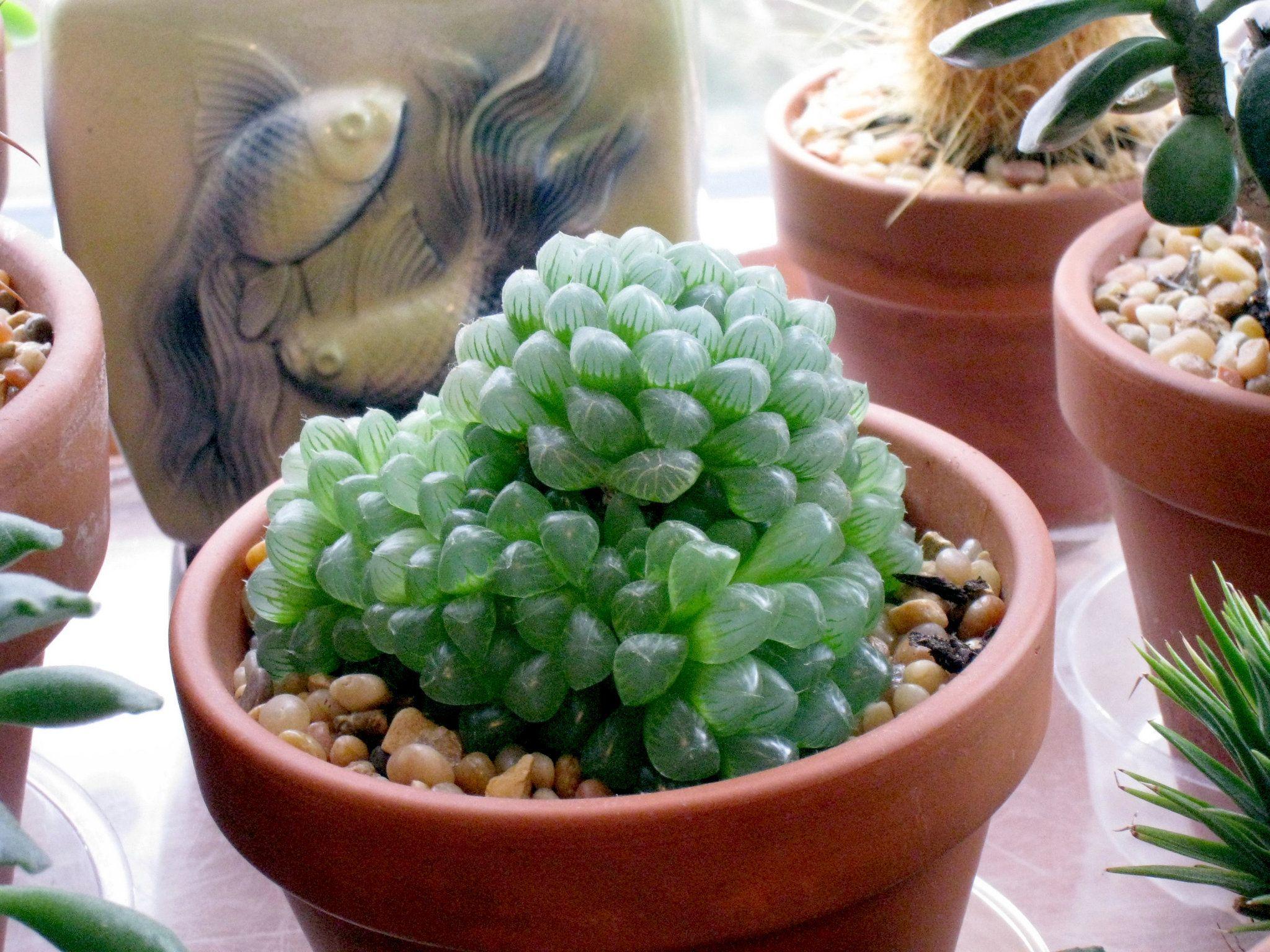 haworthias u0027camels u0027 of the plant world small succulent plants