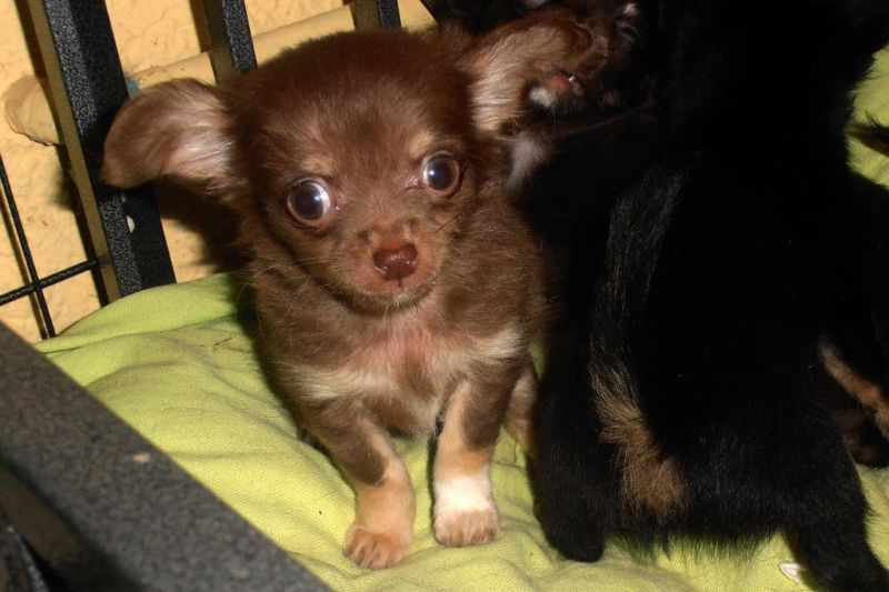 Chihuahua Puppy Welpe so cuuuteee!!!