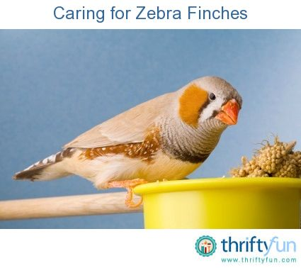 Caring For Zebra Finches Zebra Finch Pets Finch