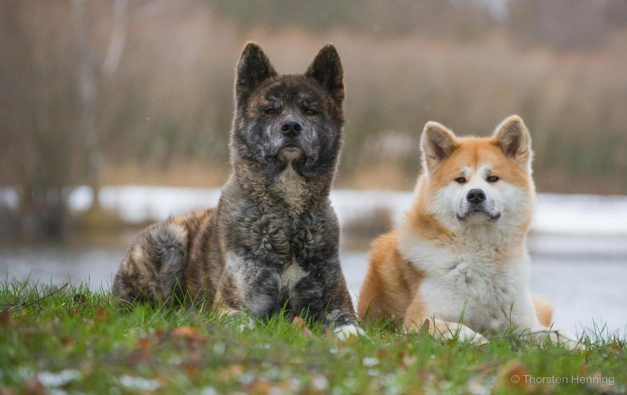 Noorse Elandhond Akita Inu Dogs Makes Me Miss My Aunt 39s Dog My Favorite