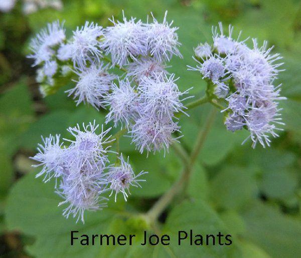 Blue Mist Flower Conoclinium Coelestinum Wild Ageratum 1 Plant Plants Hummingbird Plants Flowers