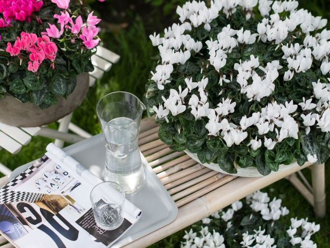 Entspannung mit dem Alpenveilchen Yearly, Plants and Gardens