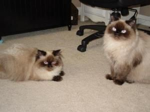 Mike And Ike Video In Bio Is An Adoptable Himalayan Cat In Little Rock Ar Male Himalayan Mike And Ike Are Two Seal Point Hi Himalayan Cat Cats Persian Cat