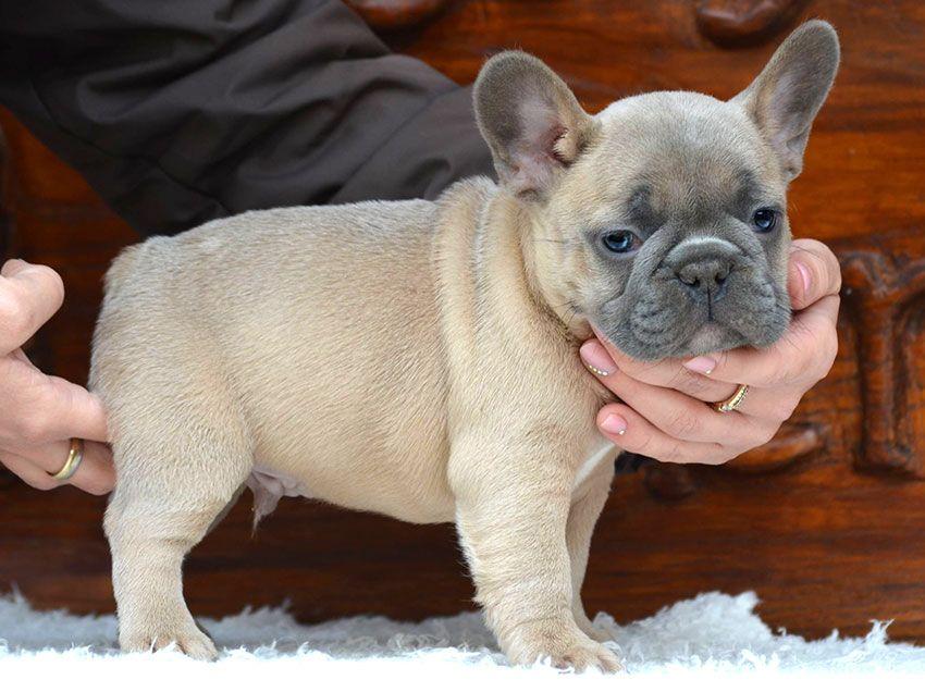 Our Breeding Fawn French Bulldog French Bulldog Breed Blue