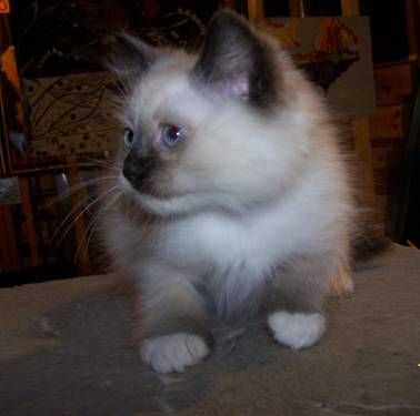 Adorable Ragdoll Kittens 3 Months Old female seal point