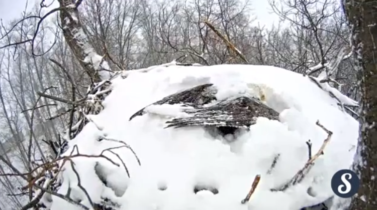 Un aigle à tête blanche sort de son nid recouvert de neige.