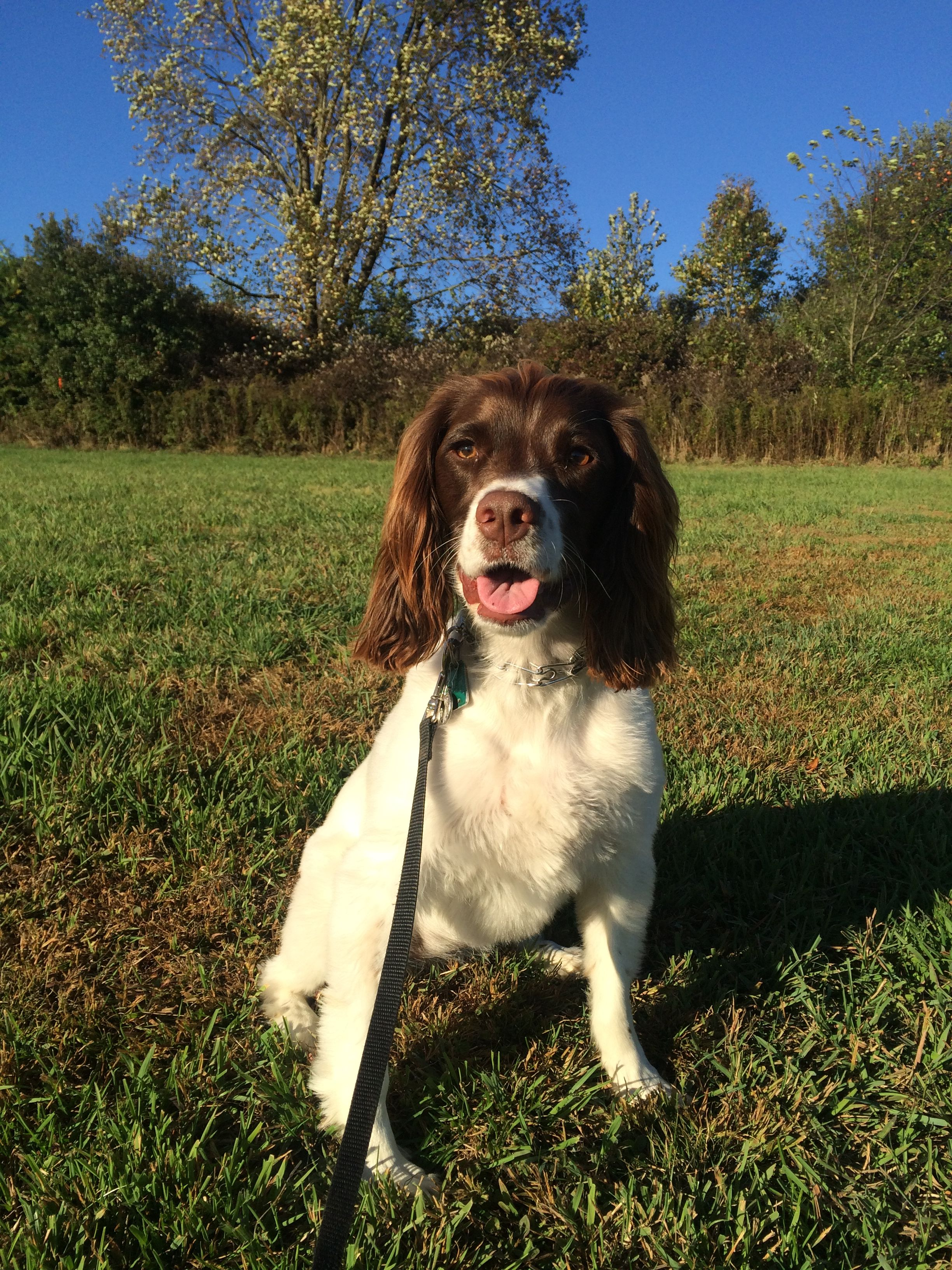 Pin by Bud Brush on Springers | Springer spaniel puppies ...
