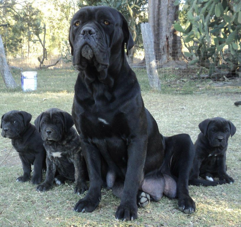Blue Cane Corso Mastiff For Sale 3m 5f Cane Corso X Mastiff