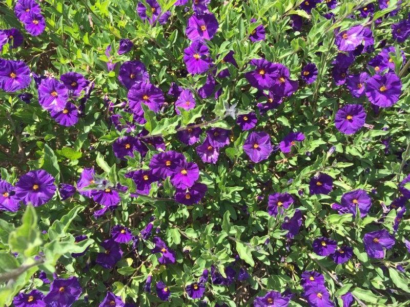 Blue Potato Bush Lycianthes Rantonnetii This Appears To Be Blue Potato Bush This Evergreen Ornamental Shrub Gr Purple Flowering Bush Purple Flowers Flowers