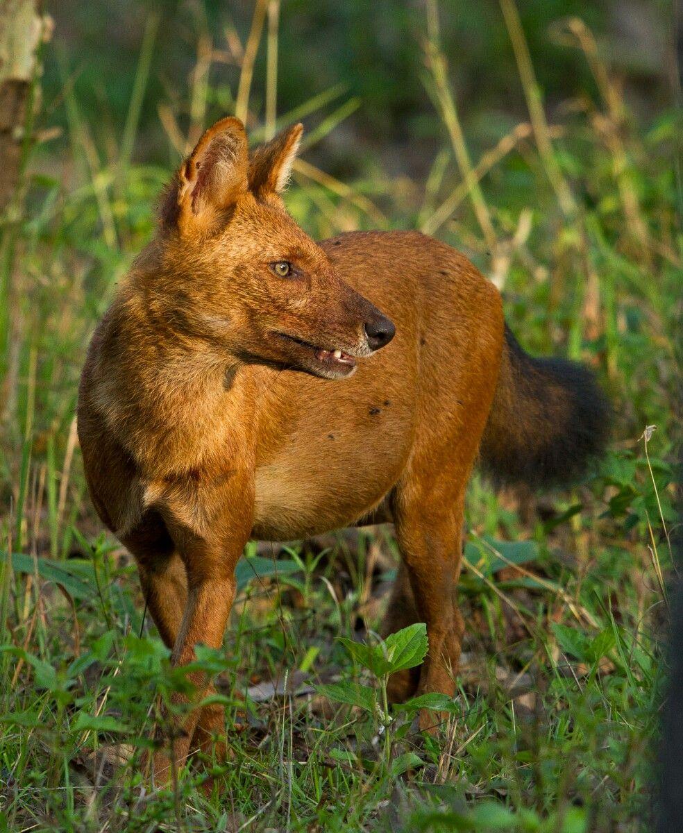 Idea by Mr. Horseman on wild dog Dhole, Most endangered