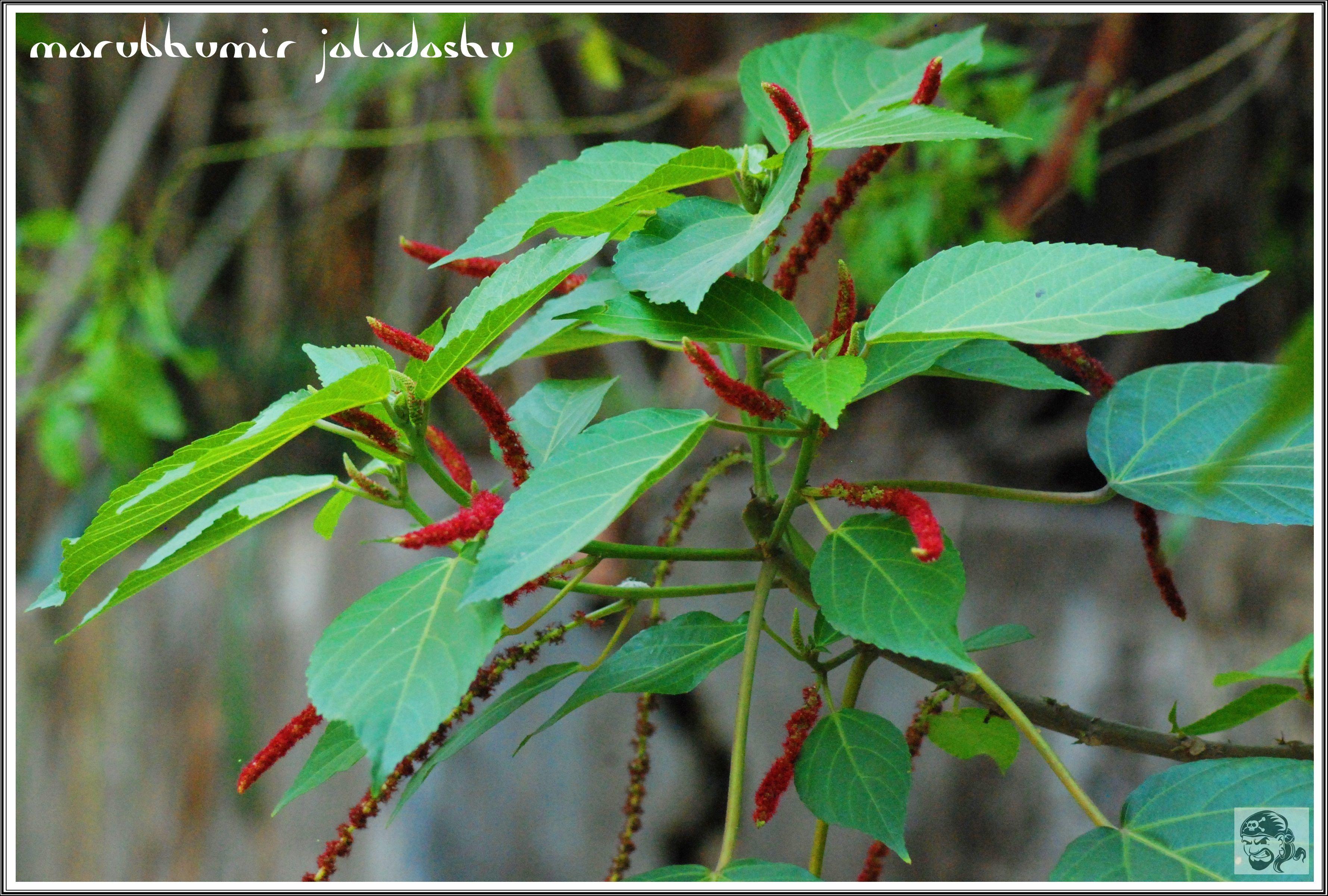 ফুলের নাম শিবজটা / অন্যান্য নাম শিবঝুল, ব্রহ্মজটা