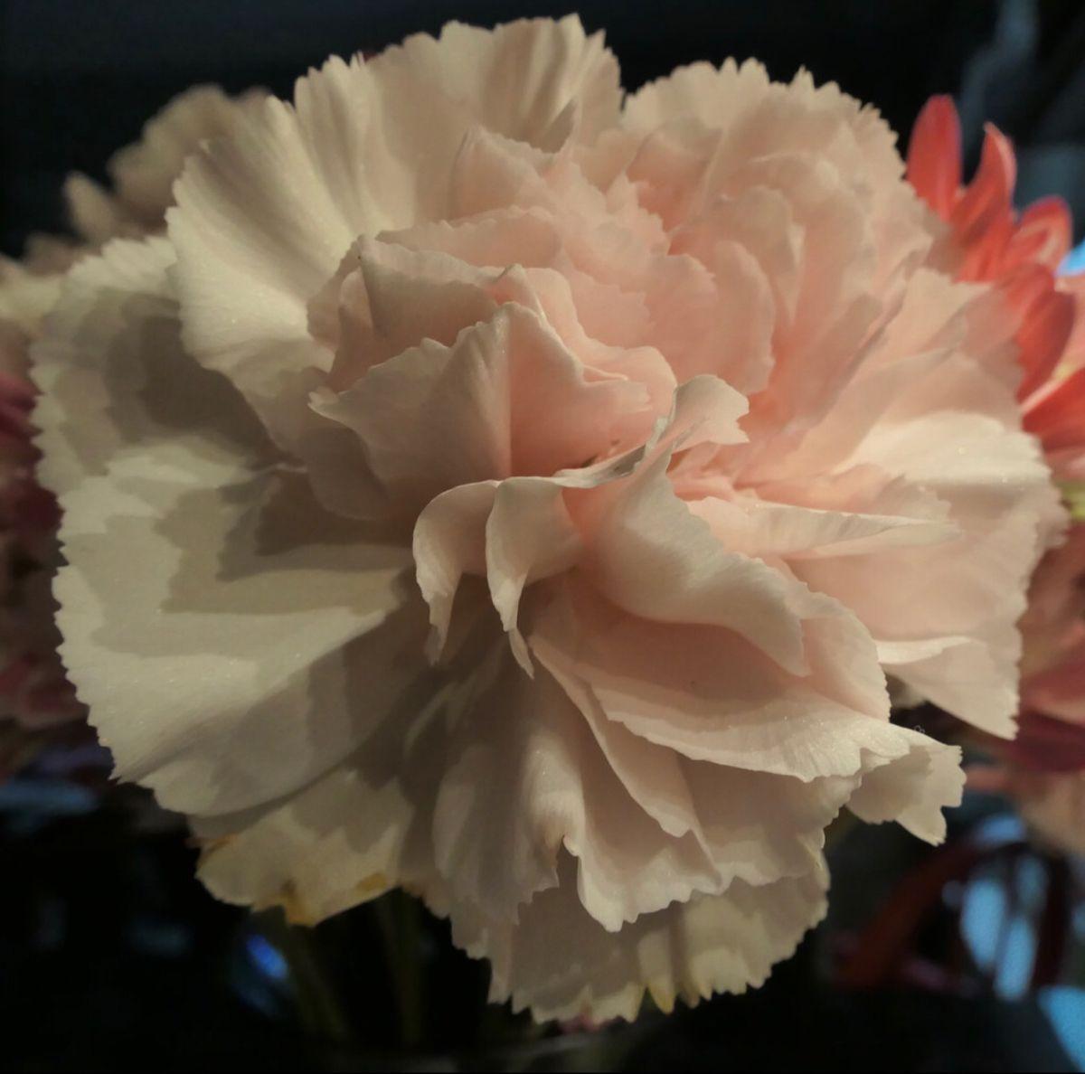 Carnation Flower In 2020 Carnation Flower Flowers For Sale Flowers