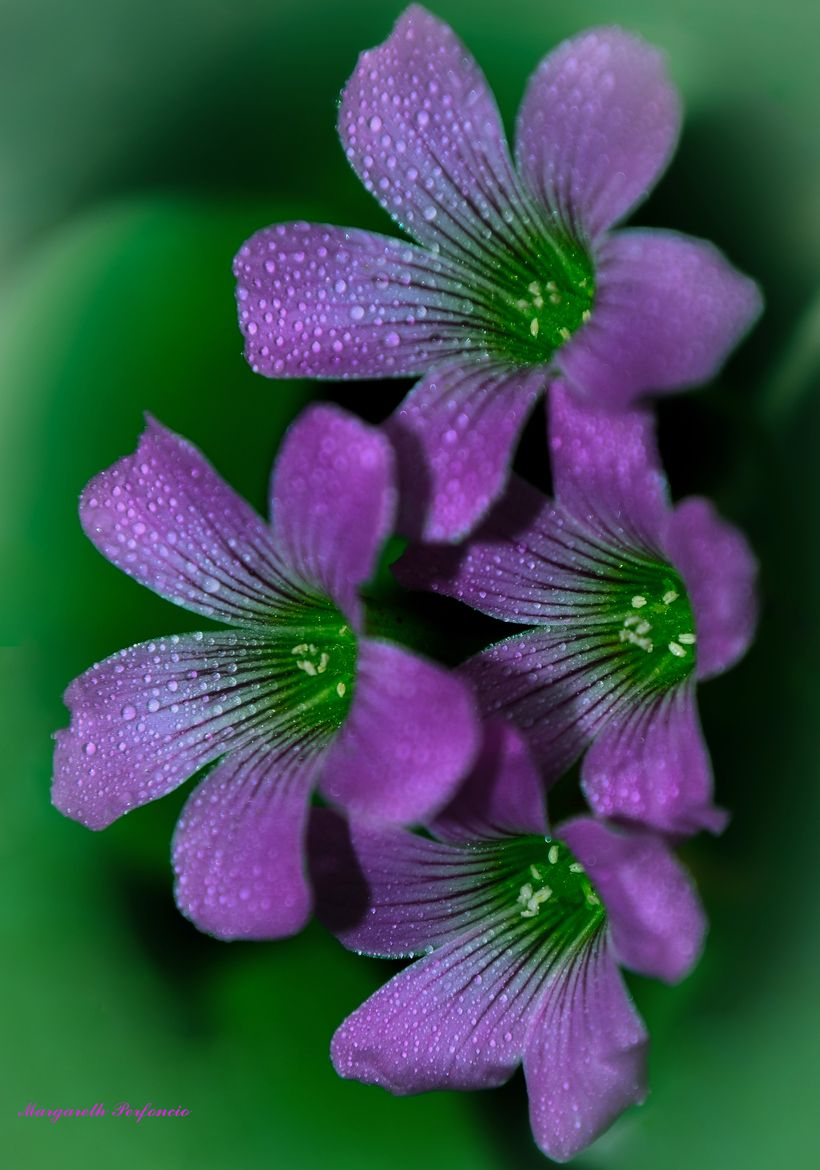 These Are Clover Flowers They Are The Best Smelling Flowers In The