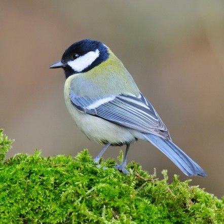Mesange Charbonniere La Mesange Charbonniere Est Souvent Melee Aux Mesanges Bleues Elle Est Toutefois Oiseaux Des Jardins Mesange Charbonniere Oiseaux