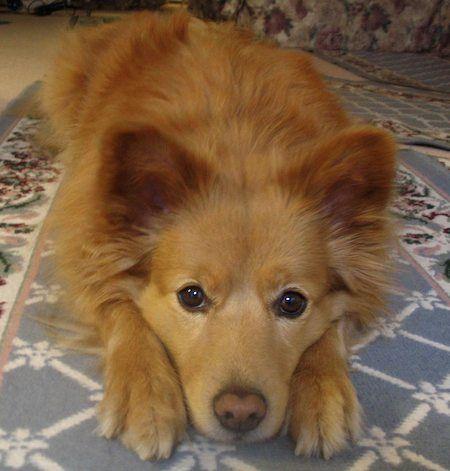 Dd 330 Eskimo Chow Chow American Eskimo Dog American
