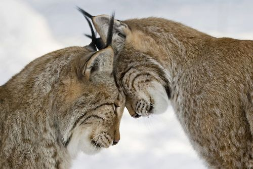 Lynxes nuzzle each other
