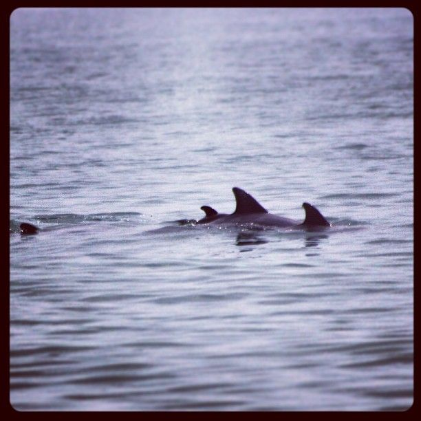 Always great to see the dolphins - Photo by wvbulldawg
