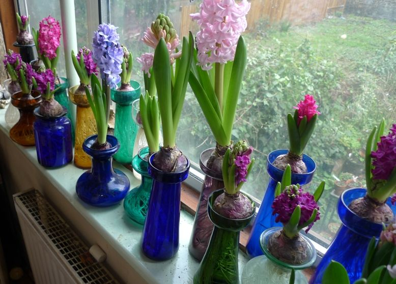 Bulb Forcing Vase Hyacinths In Forcing Vases In Bloom For