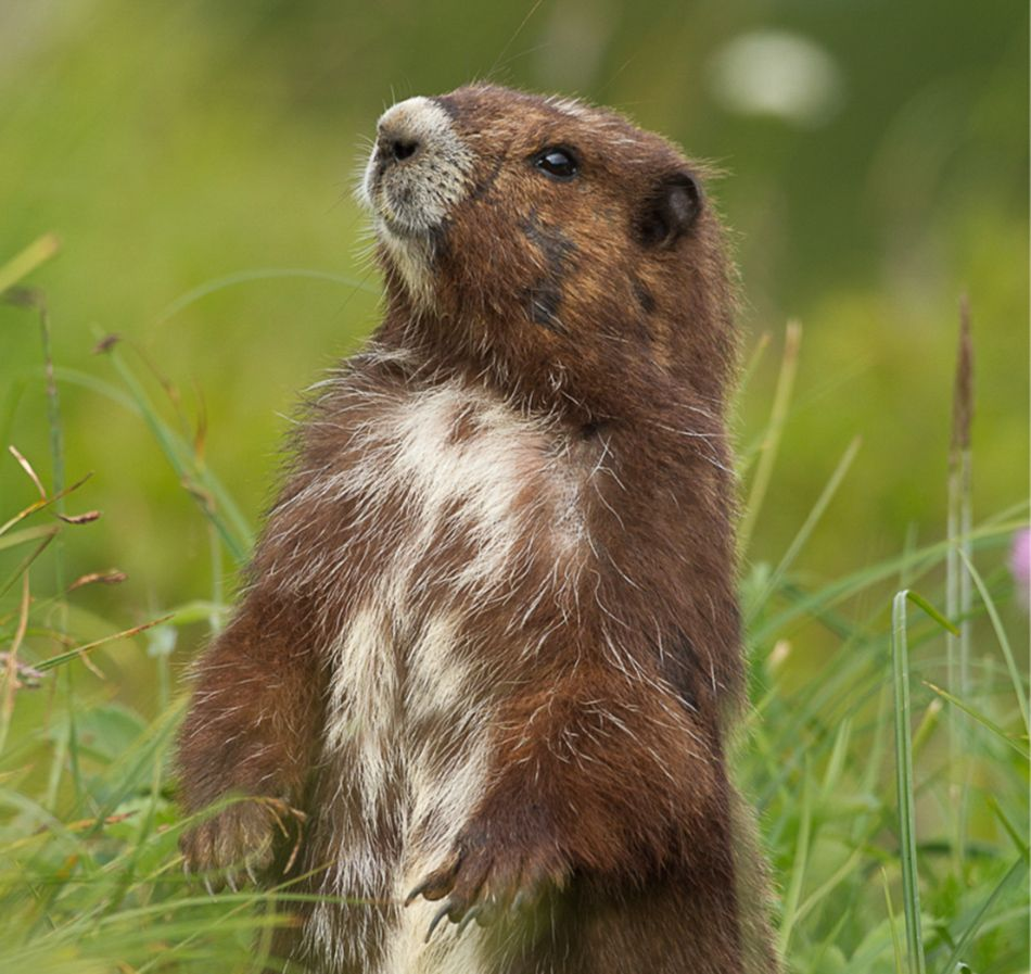 Save a species petition – The Vancouver Island Marmot Recovery Foundation |  Vancouver island, Species, Marmot