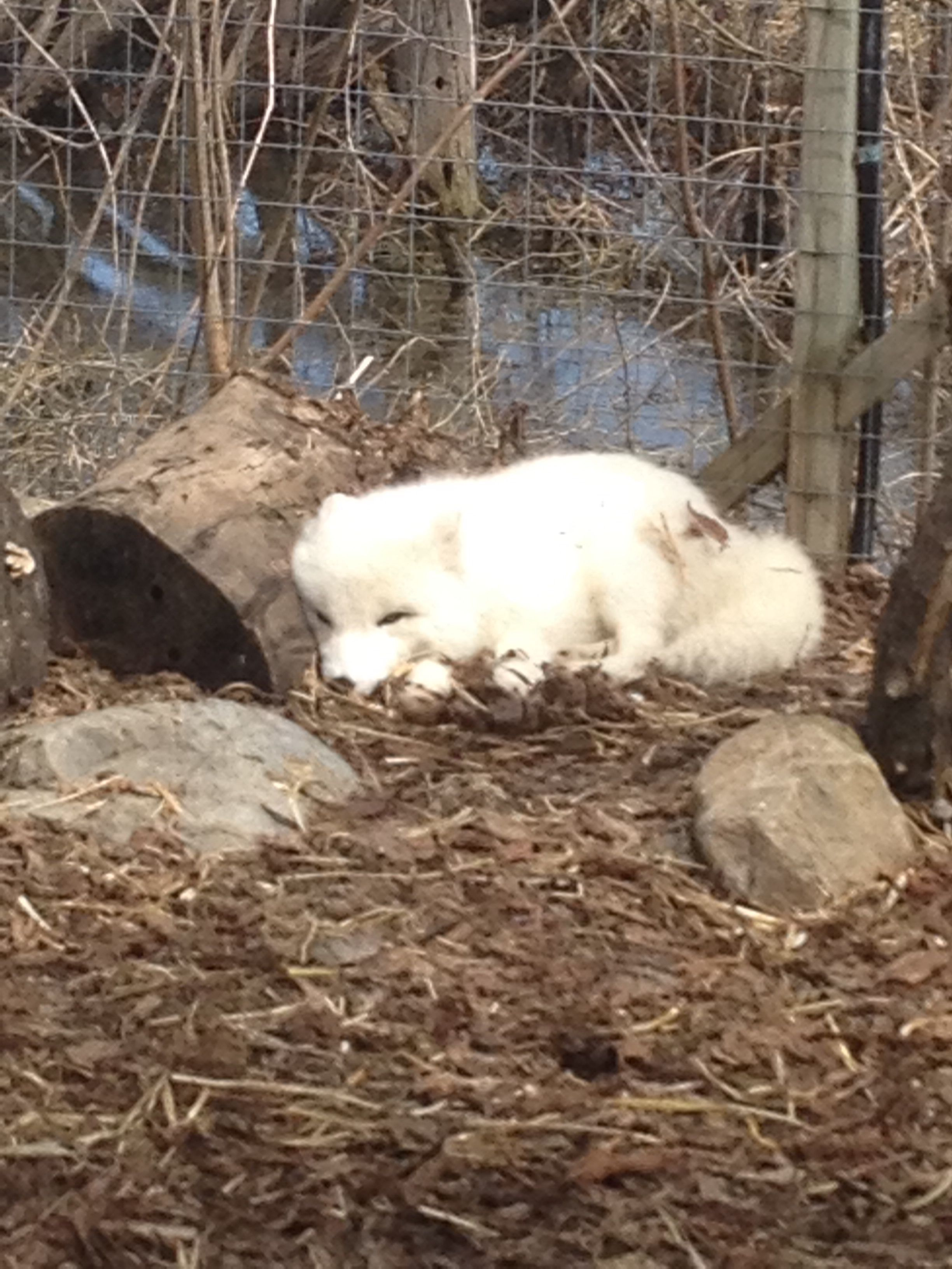 The artic fox sleeping
