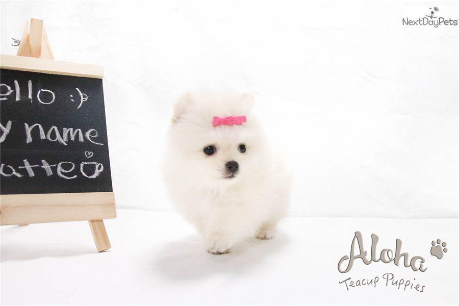 Latte pomeranian puppy for sale near new york city new