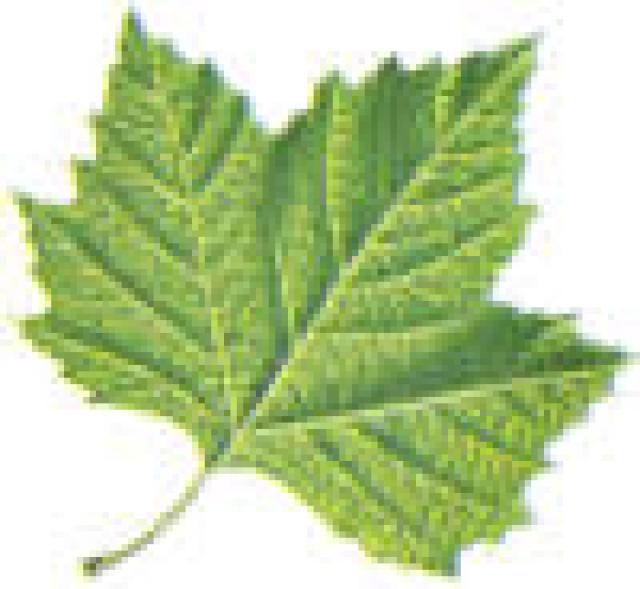 How To Identify Trees With Maple Like Leaves Deciduous Trees