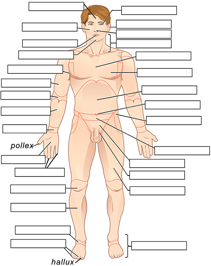 Label The Body Regions From Description In The Text Anatomy