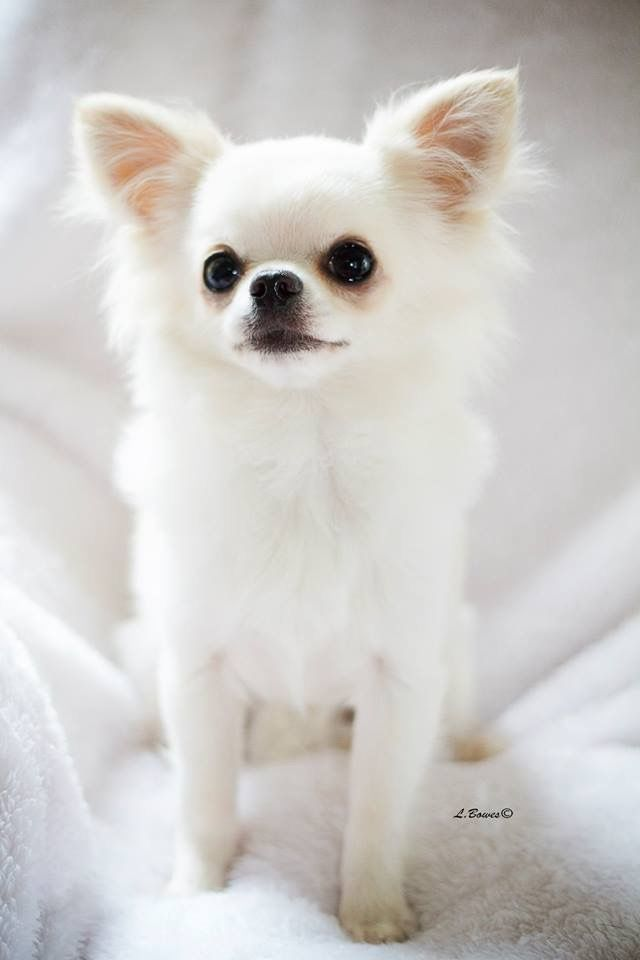 Beautiful white Chihuahua | Cute Bit of Fluff | Pinterest ...