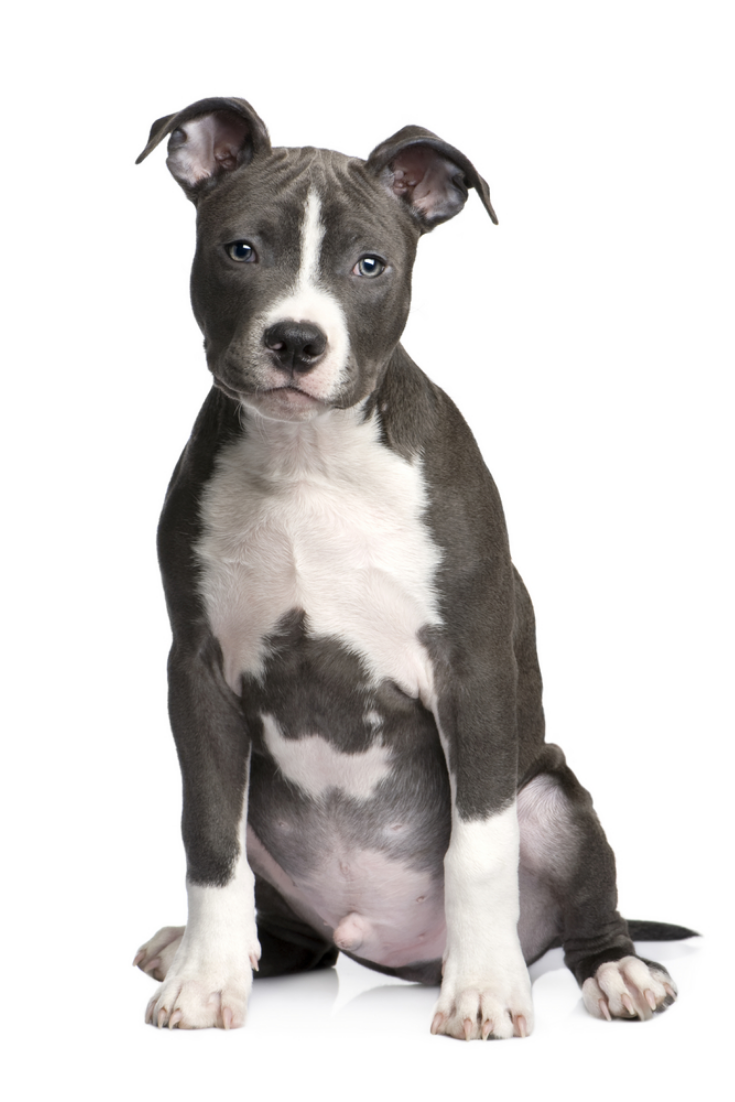 American Staffordshire Terrier Puppy 3 Months In Front Of A White Background Pit Pitbulls American Staffordshire Terrier Puppies Staffordshire Terrier Puppy