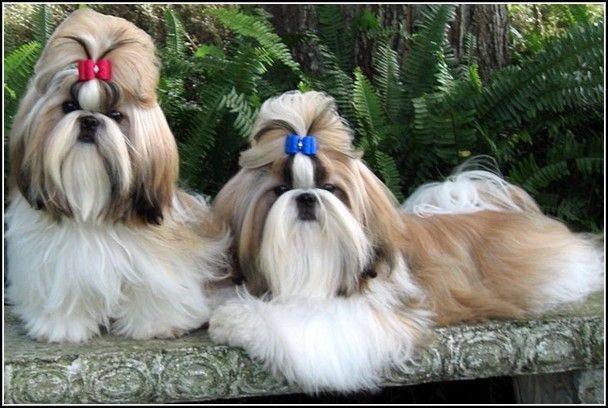 Adorable Shih Tzu Puppies For Adoption In Indiana Amp Puppy Has