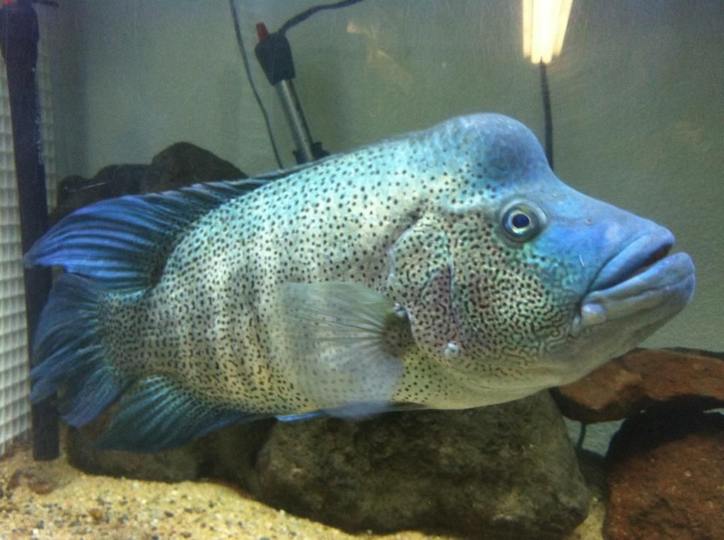 Rare african cichlids rare cichlids mental health for Rare freshwater aquarium fish