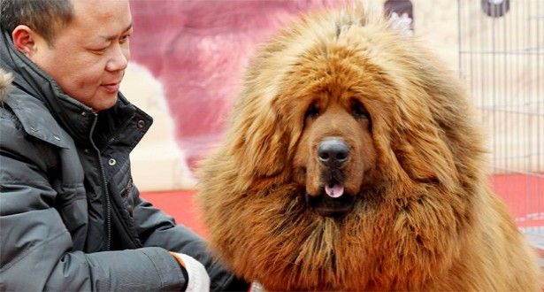 CHINESE ZOO DISGUISES DOG AS LION