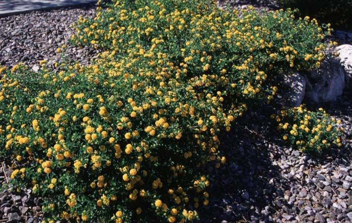 Lantana Montevidensis New Gold Lantana Plants Ground Cover