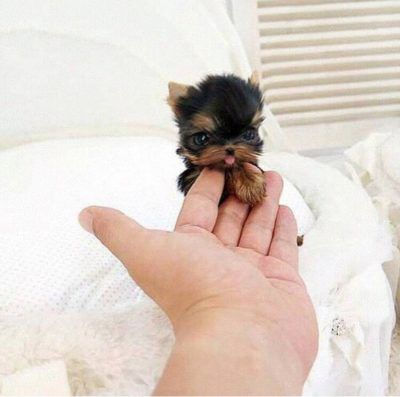 Photo of The 25 most BEAUTIFUL miniature puppies in the world You'll love them!