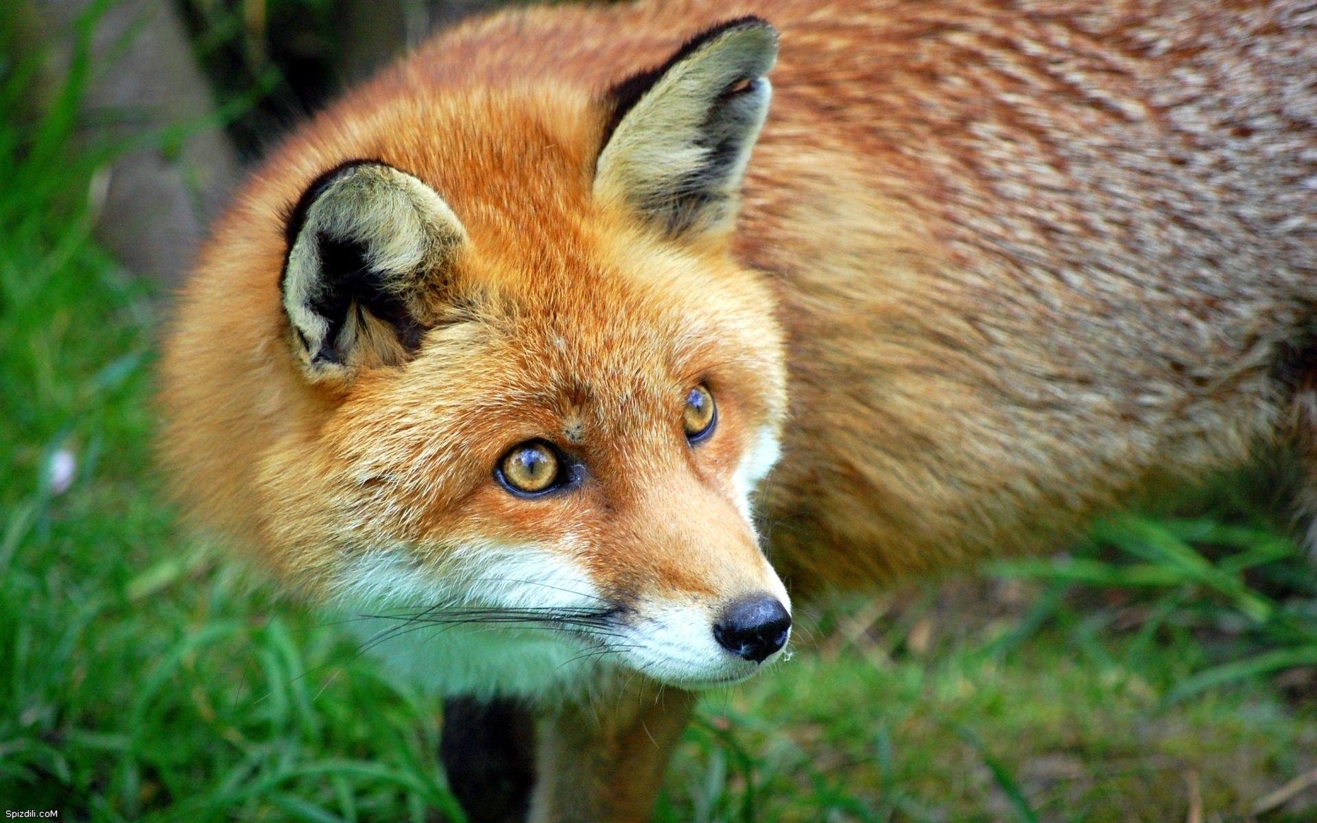foxxyyy Pet fox, Animals, Pet birds