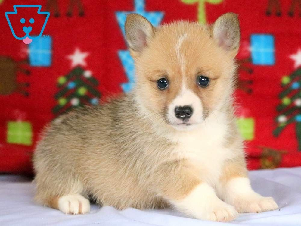 Wishes Corgi Puppies For Sale Welsh Corgi Puppies Corgi Puppy